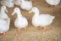 Maple Leaf Farms, Inc. Launches Enhanced Strain of Parent Stock for INDUX® Integrated Duck Production System